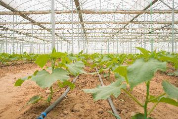 通讯:荒漠正在成为瓜果飘香的绿洲--记中国国机重工埃及现代农业温室项目