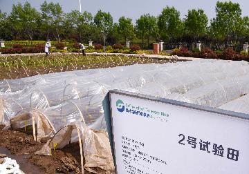 中國加快海水稻研發速度