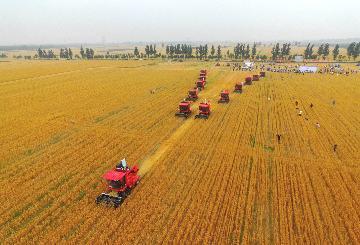 中国夏粮收获近八成 丰收已成定局