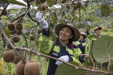 中欧班列助力中国猕猴桃打开欧洲市场