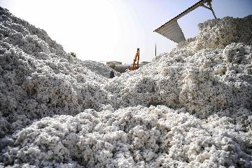 Chinas largest cotton growing area enters harvest season