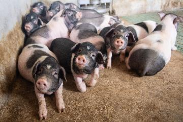 Chinese pig breeding, biopharmaceutical firms report strong profit growth