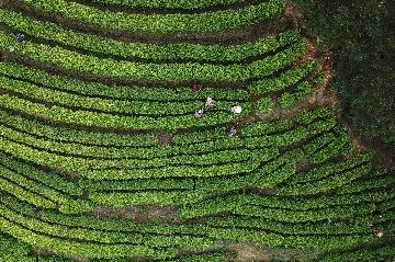 Big data perfects spring tea harvest period in China