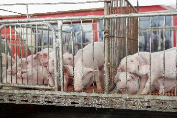 Chinas hog prices down 9.9 pct in mid May