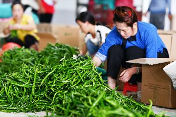 Pepper acreage exceeds 360,000 hectares in SW Chinas Guizhou