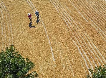 China reaps bumper summer grain harvest in 2020