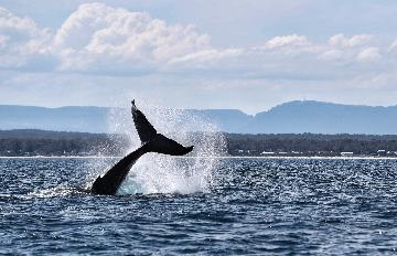 疫情下的安靜吸引鯨回歸