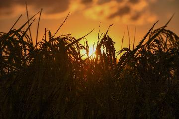 不施化肥农药 中国农民探索零碳农业