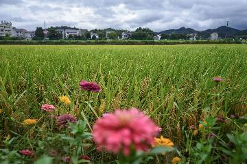 電商助力中國農民迎豐收