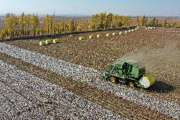 Xinjiangs grain harvest set to be record-breaking